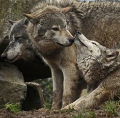 * Family love, wolves are very protective of their cubs and family members.