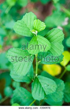 kurunthotti plant - Google Search Trees To Plant, Plant Leaves, Back To Nature, Greenery, Seeds, Google Search, Flowers, Plants, Tree Planting