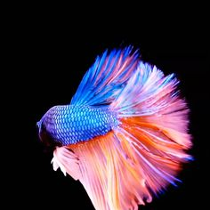 The third betta fish has to be our favorite! Do you own one of these amazing creatures? Would you like to? We are the home to betta fish care 😍 Colorful Animals, Colorful Fish, Tropical Fish, Cute Animals, Pretty Fish, Cool Fish, Beautiful Fish, Betta Fish Types, Betta Fish Care