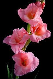 gladiolus flower - you pierce my heart