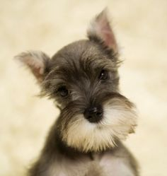I remember when my schnauzer Snickers looked like this <3