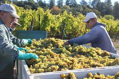 Late Harvest Viognier just harvested