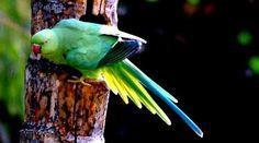 "Roseringed parakeet may 14 @ Bangalore outskirts Karnataka India For More - AmazingThings92.Tumblr.Com "" If You Like,Reblog & Follow """