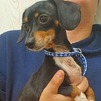 Available Pets At For Dogs Sake In Manchester New Hampshire Pet Adoption Adoption Dachshund Adoption