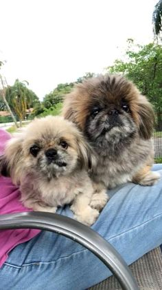 Shih Tzu Rescue | Available Dogs for Adoption Shih Tzu Rescue, Chihuahua Rescue, Shih Tzu Puppy, Shih Tzus, Rescue Dogs, Small Dog Rescue, Biewer Yorkie, Mixed Breed, Doggies
