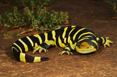 Tiger salamander, ( North America )