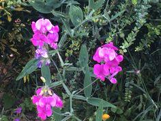 Wild sweet pea in my garden
