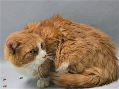 a0835963-pumpkin7 YEARS OLD, OWNER DUMP WITH HOUSEMATE (A1098112 – PATCHES) FOR PERSONAL PROBLEMS – NEEDS RESCUE ASAP!