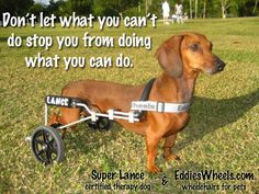 Super Lance is a standard size dachshund, he became paralyzed at age 4, but has not let that get him down. He is a certified therapy dog and he works at Miami Children Hospital to help kids cope with their pain. He has been featured on many news stations