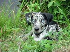 Catahoula (Leopard) Cur, named after the parish in Louisiana, known for their multi-faceted iris coloring, fur spotting, and marsh-friendly webbed paws...these pups might be Curs (mutts) but they are very sweet and beautiful their own rite, often being referred to the very first American breed.