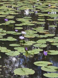 Dam Water Lillies