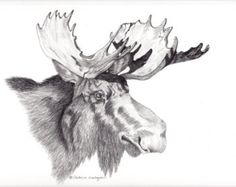 drawings of moose | Majestic Bull moose head drawing, s howing the injuries done to his ...