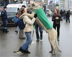 HOLY Irish Wolfhound.