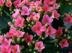 Pink Kalanchoe - the newest addition to my garden :-)