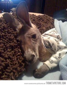 A baby kangaroo in pajamas… This is adorable!