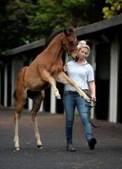 Colt from the first crop of Frankel foals brings nearly $2 million at Goffs - Paulick Report