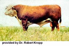 Beginning in 1742 with a bull calf from the cow Silver and two cows, Pidgeon and Mottle, inherited from his father's estate, Benjamin Tomkins is credited with founding the Hereford breed. This was 18 years before Robert Bakewell began developing his theories of animal breeding. From the start, Mr. Tomkins had as his goals economy in feeding, natural aptitude to grow and gain from grass and grain, rustling ability, hardiness, early maturity and prolificacy,