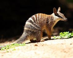 This is a numbat = The numbat (Myrmecobius fasciatus), also known as the banded anteater, marsupial anteater, or walpurti, is a marsupial found in Western Australia. Its diet consists almost exclusively of termites.