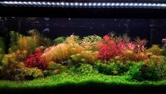 Aquascaping is the art of gardening inside an aquarium, and you don't need a big 75-gallon tank to do it! You can aquascape a small 5-gallon aquarium or a betta tank as long as you choose the right style and plant varieties. Using the hardscape elements like rocks and sticks and a high-quality substrate, you can cultivate a small variety of plants in a small tank Iwagumi-style or splash out for the full Dutch treatment in a big tank! #AquascapeIdeas #PlantAquascapeGrow #NaturalAquascape Live Aquarium Plants, Planted Aquarium, Live Plants, Betta Tank, Fish Tank, Different Plants, Types Of Plants, Aquarium Design, Tall Plants