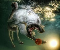 Underwater Dogs is a collection of more than eighty portraits, shot by award-winning pet photographer and animal rights activist, Seth Casteel. Casteel's work is unique among pet photographers — on the surface, it seems to be a simple exercise: a dog's leap, a splash, and then a wet head surfacing with a ball, triumphant. But beneath the water is a chaotic ballet of bared teeth and bubbles, paddling paws, fur and ears billowing in the currents.