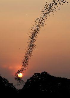 Der Fledermausen