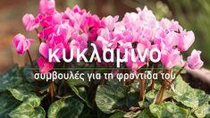🌷 Κυκλάμινο: Συμβουλές για τη φροντίδα του - Τα Μυστικά του Κήπου