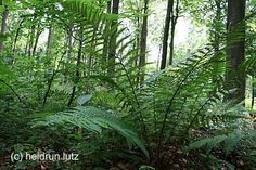 """Auch in Deutschland kann man einen Hauch """"Urwald"""" finden. Hier: Ein Farn im Büdinger Wald/Hessen. Mehr dazu:  http://www.bfn.de/0311_landschaft+M519f797671d.html?=9e5733de6fdd7ebdb27faa8449c45687"""
