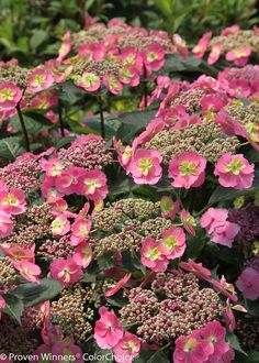 """Tuff Stuff™ - Reblooming Mountain Hydrangea Hydrangea serrata-24-36""""-Very hardy reblooming hydrangea. Lacy pink flowers. Flower color may be affected by soil pH. Continuous Bloom or Rebloomer. Blue-purple in acidic soils, pink in basic ones. Prefers moist, well-drained soil. Supplemental water may be needed in very hot weather. Pruning is typically not needed, but it may be pruned to shape immediately after the spring bloom."""