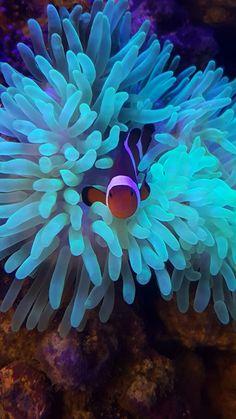 Clown fish hosting my bubble tip anemone  ( BTA )