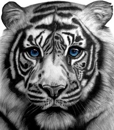Tiger Art Print Pencil Drawing by UptonStudios on Etsy