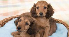 Dachshund Wiener Dog Dogs