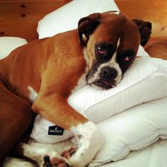 comfy boxer, pillows required...