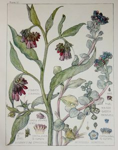 1910 Botanical Print by H. Isabel Adams: Borage by PaperPopinjay
