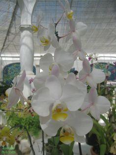https://flic.kr/p/vbJMEa | Orquídea | Orquídeas brancas do Jardim Botânicos do Rio de Janeiro.