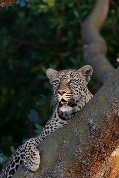 A Tree; a Good Lookout Place For a Leopard.