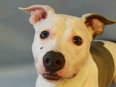 SAFE 8-17-2015 --- Manhattan Center PEPSI – A1046737  NEUTERED MALE, GRAY / WHITE, AM PIT BULL TER MIX, 2 yrs OWNER SUR – EVALUATE, NO HOLD Reason NEW BABY Intake condition EXAM REQ Intake Date 08/05/2015