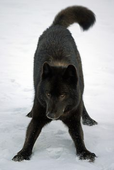 Playful black wolf