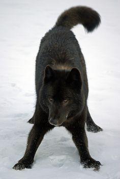 Playful black wolf
