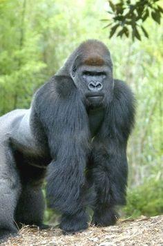 Motaba one of our male gorillas turns 30 this week. Motaba one of our male gorillas turns 30 this week. Primates, Mammals, Dian Fossey, Rare Animals, Animals And Pets, Strange Animals, Mundo Animal, My Animal, Gorilla Tattoo