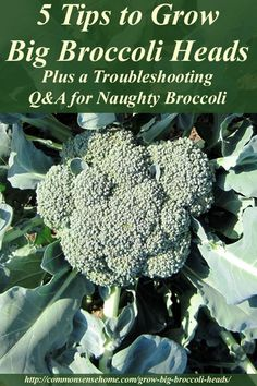5 Tips to Grow Big Broccoli Heads: Tips for growing big heads of broccoli, plus general broccoli growing requirements, broccoli companion plants, and troubleshooting tips for broccoli problems.