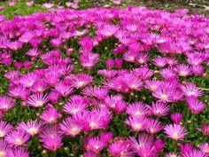 Ice Plant - Delosperma Cooperi - Cool Plant for the Sun - Quart Pot