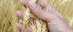 Is GMO wheat dangerous?  An Australian study....