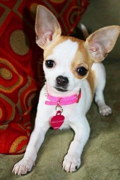 Effective Potty Training Chihuahua Consistency Is Key Ideas. Brilliant Potty Training Chihuahua Consistency Is Key Ideas. Teacup Chihuahua, Chihuahua Puppies, Cute Puppies, Cute Dogs, Baby Dogs, Doggies, Little Dogs, Beautiful Dogs, Cute Baby Animals