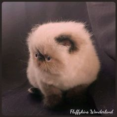 Fluffykins Wonderland Seal Colourpoint Persian Male Crazy Cat Lady, Crazy Cats, Kitty Cats, Cats And Kittens, Adorable Animals, Cute Cats, Kitten Breeds, Himalayan Cat, Persian Kittens