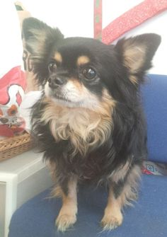 Elvis  9 year old male Chihuahua #cutedogs #cute #dogs #dog #pets #babblepets