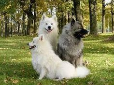Keeshond Club of VIC - Dog Lovers Show Melbourne