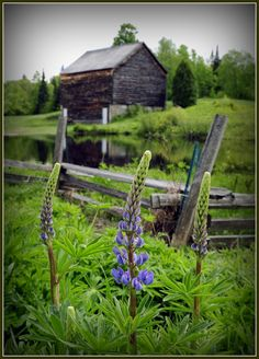 Blue Lupine on the John Brown Farm. Located on the farm where the abolitionist John Brown lived, in North Elba, New York.