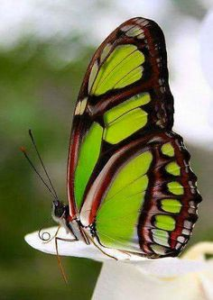 Malachite Butterfly, known for its amazing green coloring!