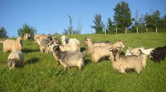 Giasone Cashmere made in Italy Cashmere, Goats, Italy, Luxury, How To Make, Animals, Gold, Cashmere Wool, Italia