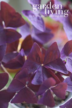 Oxalis triangularis \'Mijke\' er like fin i potter i vinduskarmen som i potter ute eller i bedet for den saks skyld. Bladene kan minne om store firkløvere, men blomstene er alt annet enn kløveraktige. Denne planten blomstrer lenge og blomstene er lysrosa,